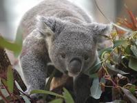 動物達と次に会う日、コアラに会う日 - bonsoir