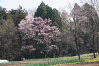 桜便り~2 - きょうから あしたへ その2
