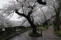 千鳥ヶ淵の桜 2020 - 岡本代表の「本日の1枚」