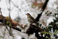 冬鳥のトラツグミをサクラ絡みで - 私の鳥撮り散歩