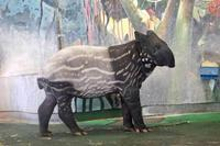 マレーバクっ仔「カナエ」ちゃん成長記(多摩動物公園) - 続々・動物園ありマス。