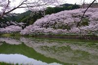 庭木の桜Ⅱ - きずなの家創り