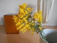 ミモザ(アカシア)の葉っぱが・・違う〜 - のび丸亭の「奥様ごはんですよ」日本ワインと日々の料理