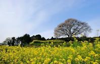 馬場の山桜 - A  B  C
