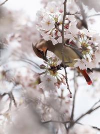 桜とレンジャク - いのち煌めいて