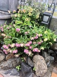 〝今年もバラの庭を夢見てネイル〟♡と、溢れ種から発芽色々♫ - 薪割りマコのバラの庭