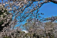小田原球場の桜 - 風とこだま