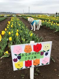 子供たちの手作りの看板(佐倉チューリップフェスタ) - 秋田犬「大和と飛鳥丸」の日々Ⅱ