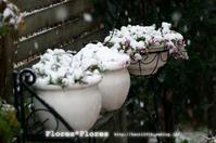 春の雪 - Flores*Flores