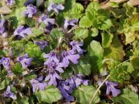 カタクリの季節に咲く草花 - 花と葉っぱ