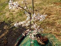スモモ栽培 2020年 - 北国の田舎暮らし