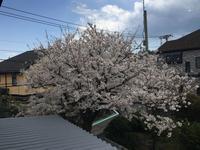 やっと晴れて桜満開。 - わたしの好きな物