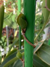 マツブサ(ウシブドウ・黒五味子)の芽吹きと二十日大根 - いととはり