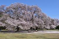 稲荷山公園の桜 - Like a Life Photo