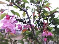 花海棠 - だんご虫の花
