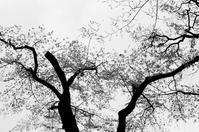 墨染の桜 - Ippo Ippo