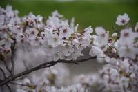 20年春の自然(24)… - ふぉっしるもしてみむとてするなり