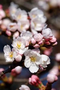 桜晴れ - 写心食堂