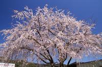 偶然見つけた枝垂れ桜♪ - happy-cafe*vol.2