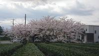 桜満開! - 猫屋の今日も園芸日和〜ギボウシ達の庭〜