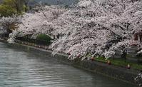 京都桜開花状況(4月1日)疎水界隈 - Turfに魅せられて・・・(写真紀行)