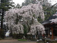 桜だより(17) 見つけた桜③ (2020/3/31撮影) - toshiさんのお気楽ブログ