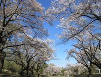 稲荷山公園桜散るころ&カタクリの花 - ひのきよ