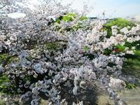 後藤家の桜 - 商家の風ブログ
