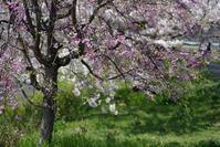 桜が散っていく川べりで - 生きる。撮る。