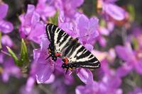 ギフチョウとモチツツジ (2020/04/04) - Sky Palace -butterfly garden- II