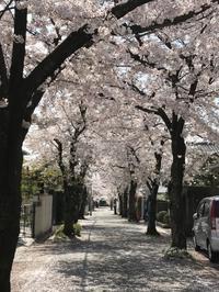 桜並木 - 平凡で幸せな毎日