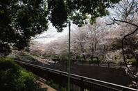 「知名度の低さでは都内有数の公園で桜を惜しむ」 - もるとゆらじお