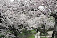 哲学の道の桜 - Taro's Photo