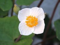 白雪芥子に雪うさぎ - しらこばとWeblog