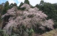 桜 7奈良県 - ty4834 四季の写真Ⅱ