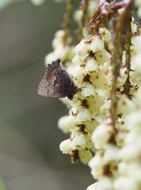 チョウが集まるキブシとヤマザクラ - 蝶超天国