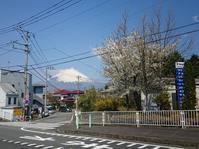 桜満開2 - 猫屋の今日も園芸日和〜ギボウシ達の庭〜