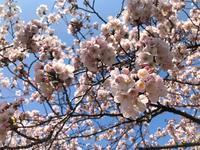 桜と衣替え第2弾 - 晴れ好き女の衣生活メモ