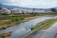 京都桜開花状況(4月2日)賀茂川桜並木 - Turfに魅せられて・・・(写真紀行)