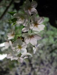 PENTAX Q7 夜桜接写 - 月に叢雲 花に嵐