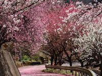 桜だより(19) わ鉄&桜&花桃② (2020/4/2撮影) - toshiさんのお気楽ブログ