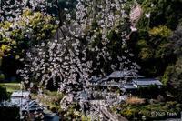 いつぞやの八講桜 - toshi の ならはまほろば