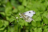 ツマキチョウ「ステイ・ホーム」の呼びかけ - 蝶のいる風景blog