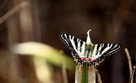 令和2年スプリングエフェメラルその3 - 紀州里山の蝶たち