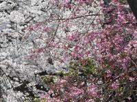 京都市 毘沙門堂&琵琶湖疏水の桜 2020 - 転勤日記