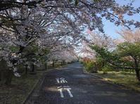 桜満開 - pottering