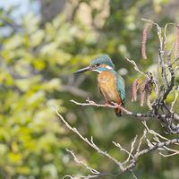 藤沢市の市の鳥「カワセミ」 - エーデルワイスPhoto