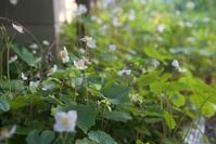 白雪芥子、細胞分裂、14年間分 - 世話要らずの庭