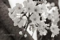 「桜は来年も帰ってきます。人の命は帰ってきません」 - MIRU'S PHOTO