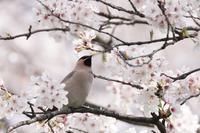 桜とレンジャクⅢ - いのち煌めいて